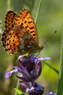 Pearl-bordered_Fritillary